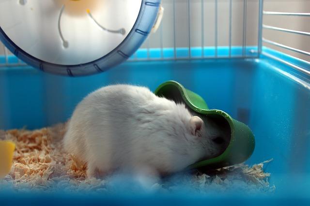bílá myš