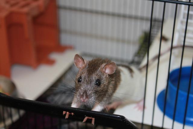 krysa v kleci